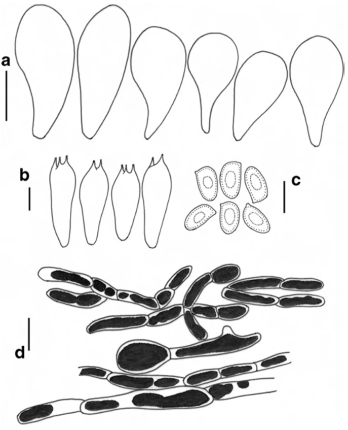 Agaricus atrodiscus (holotype) a Cheilocystidia b Basidia c Basidiospores d Pileipellis. Scale bars: a, d=10μm, b, c=5μm